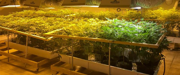 better cannabis cultivation - cannabis jobs