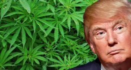 Despite Trump Government Massive Growth Seen for Cannabis Industry