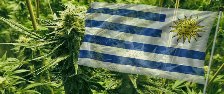 Medicinal Marijuana Rolled Out in Uruguay