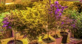 The Cannabis Master Grower