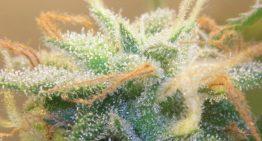 Marijuana Trichomes