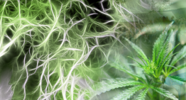 Cannabis Roots: The Most Underutilized Part of The Plant