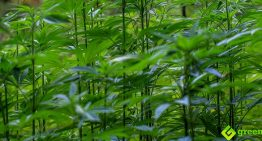 The Indian Hemp Drugs Commission Report