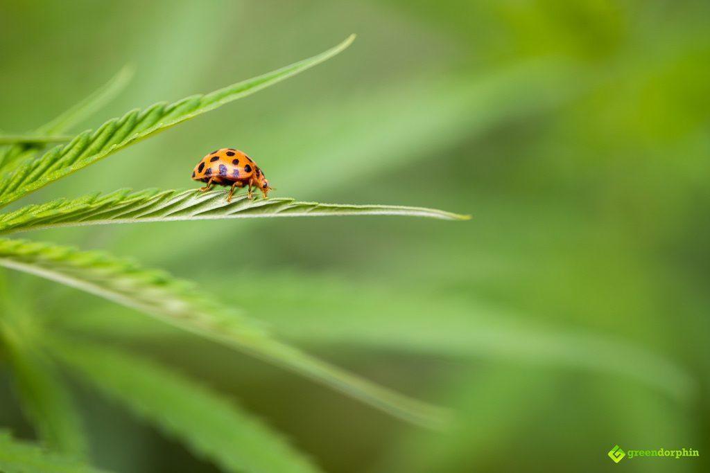 Cannabis plant with ladybug