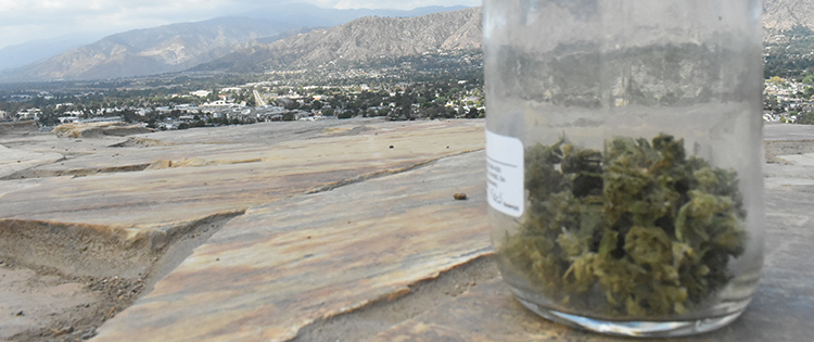 Cannabis buds with a view