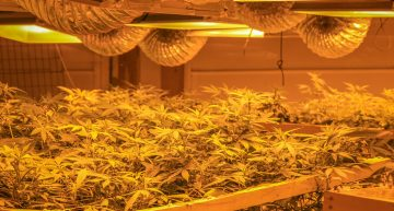 Hydroponics and Cannabis: Things to Avoid when Using Hydroponics to Grow Weed
