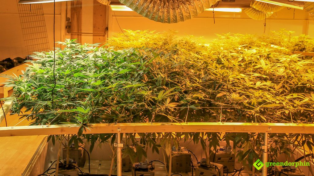 Practical Tips to Become a Tech-Savvy Marijuana Grower - temperature check