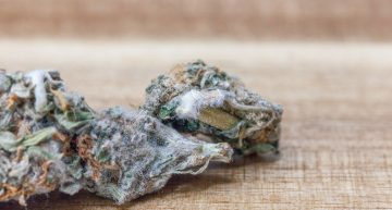 Everything You Should Know About Cannabis Mold