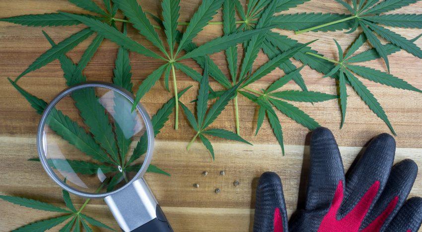 Anatomy of the Cannabis Plant: Grow with Greendorphin