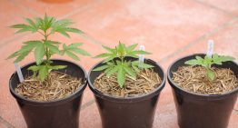 Repot your Cannabis Plants with this Simple 7-Step Guide