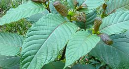 What is Kratom and How Does It Work?