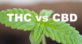 THC vs. CBD: What's What?